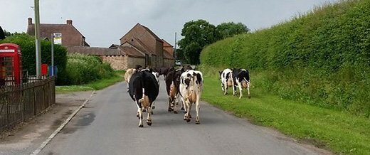 Free Range Dairy | Cows in the road