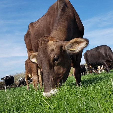 Free Range Dairy | Cows grazing