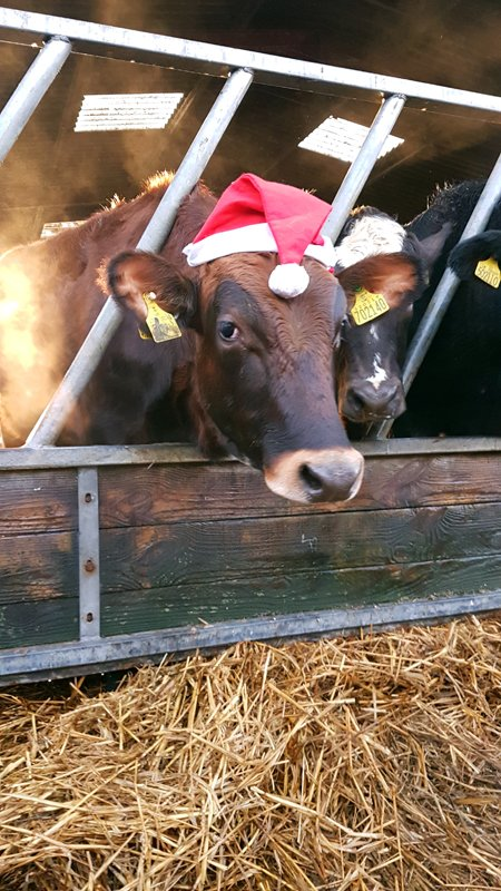Free Range Dairy | Cow with Xmas hat